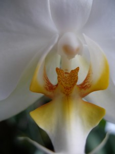 Orchid Pornography - Orchid Porn